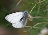 J16_1190 Dark-veined White